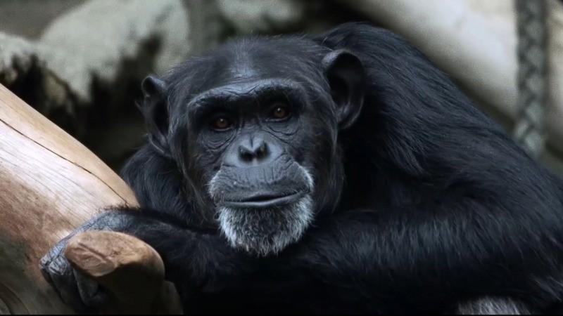 O protagonista do filme Bio - Construindo Uma Vida estuda o comportamento dos macacos bugios